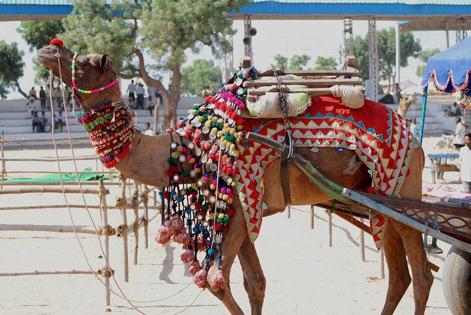 Camel at the Pushkar Fair Photo credit:  sheetal saini