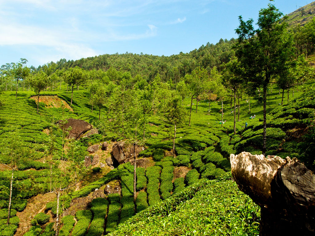 Tea plantations at Munnar   Photo credit:   VnGrijl