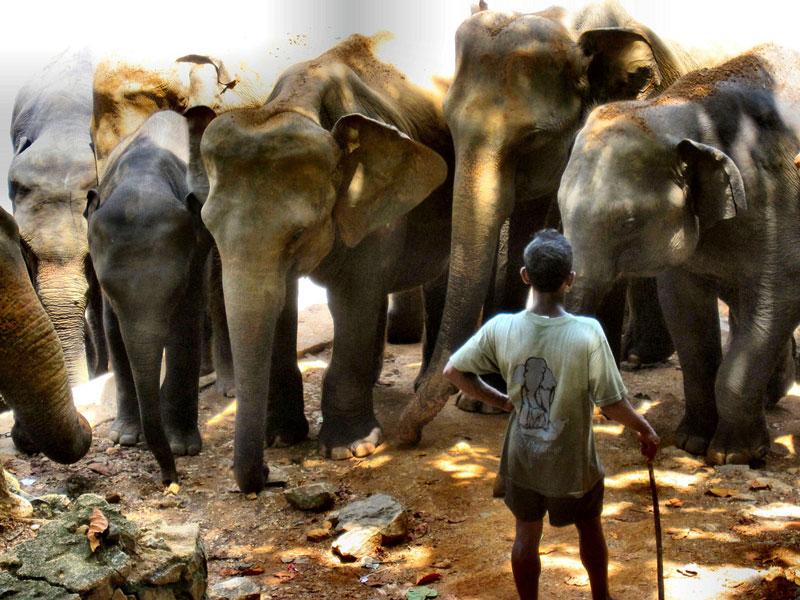 Elephants up close at Pinnawala Photo credit:  Ronald Saunders