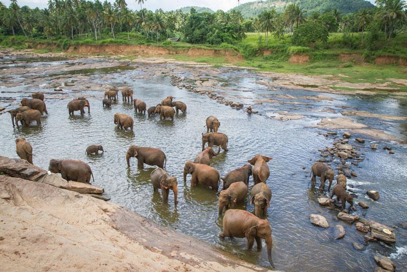 Elephants bathing near the Pinnawala Elephant Orphanage Photo credit:  Joanne Goldby