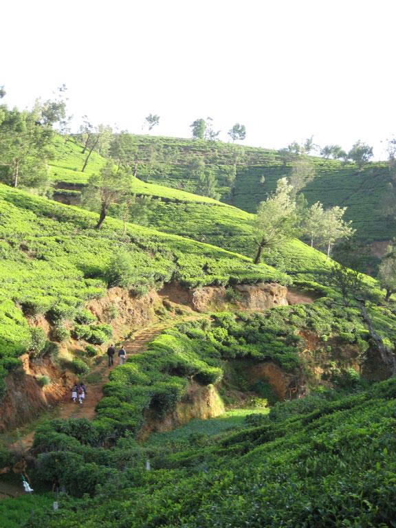 Tea fields, Nuwara Eliya Photo credit:  4Neus
