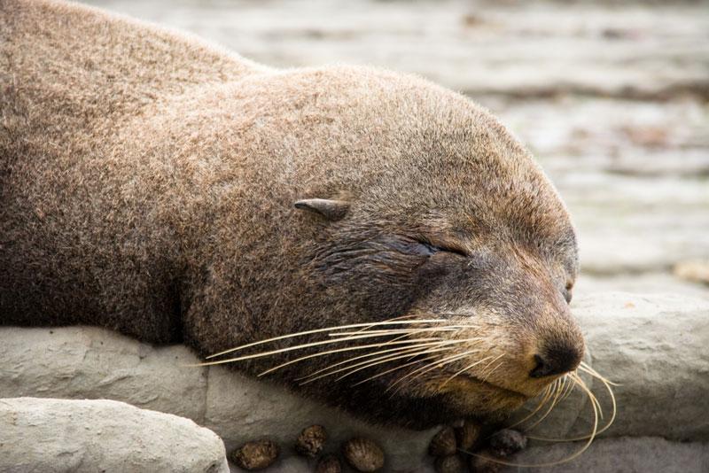Fur Seal, Kaikoura Photo credit:  Aidan