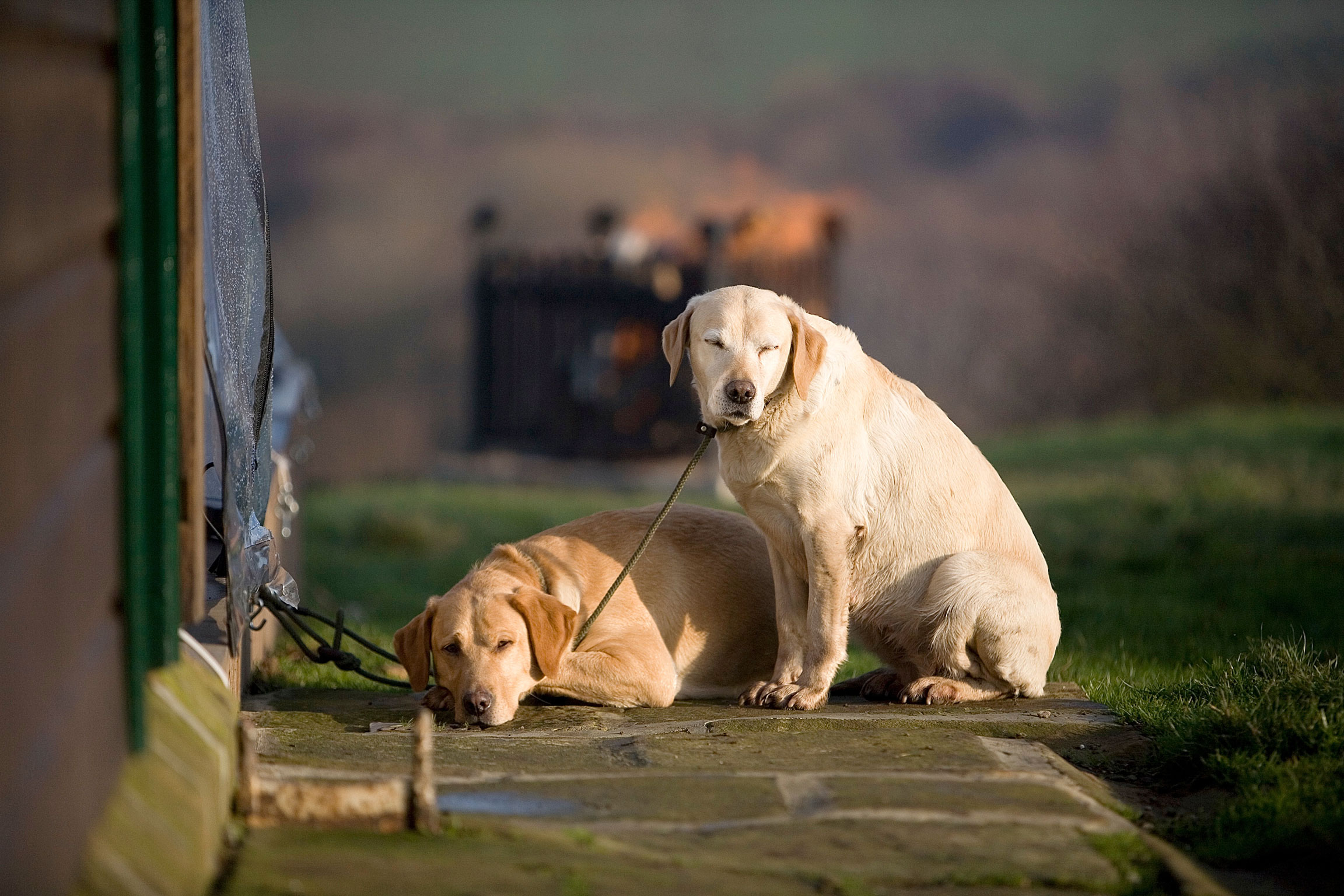 shooting dogs labradors web.jpg