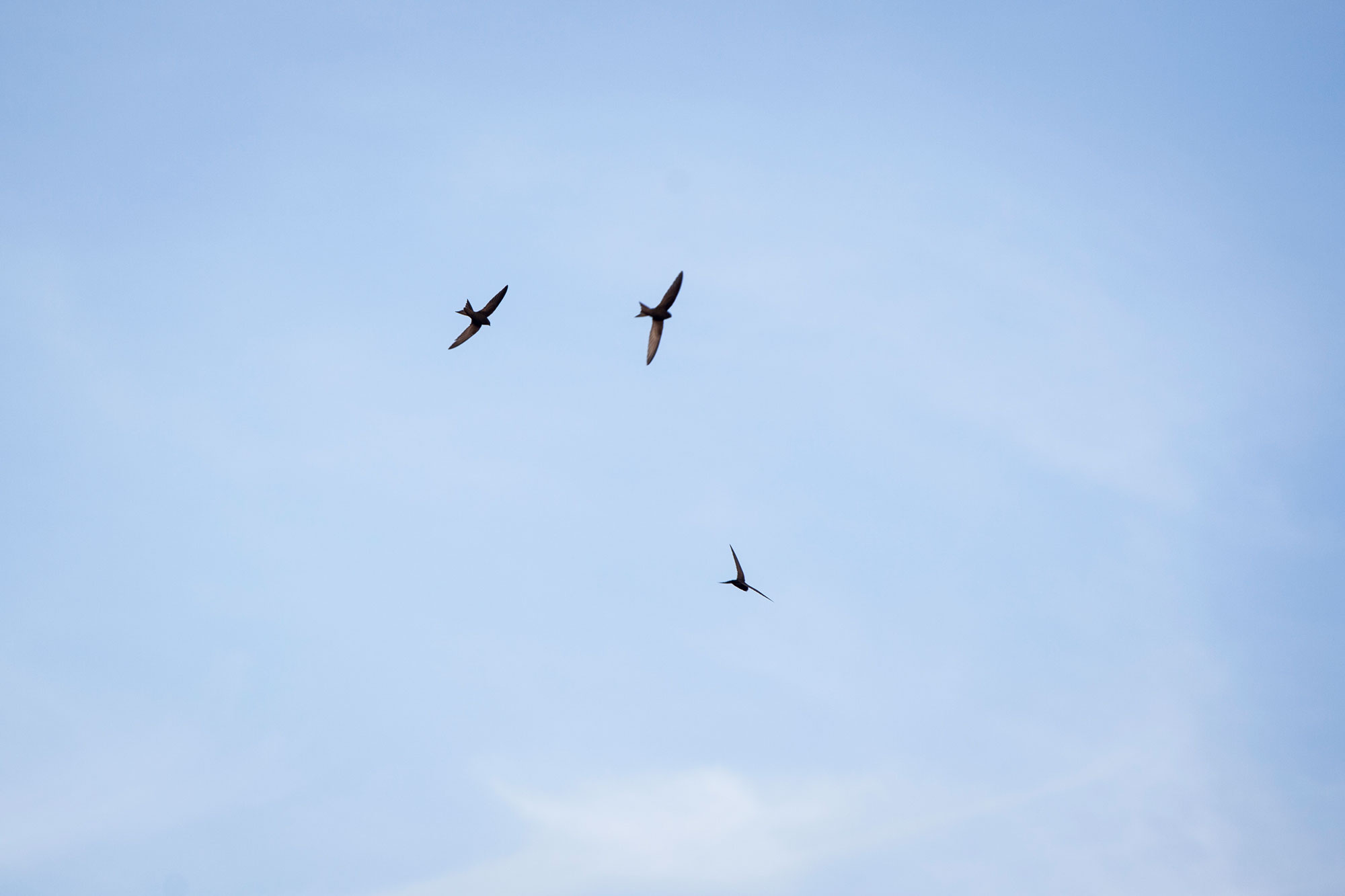 These 3 Swifts have been hanging about togther all season.