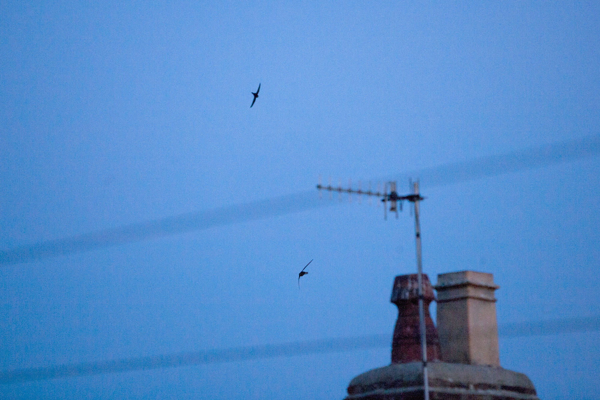 Swifts screaming at dusk.