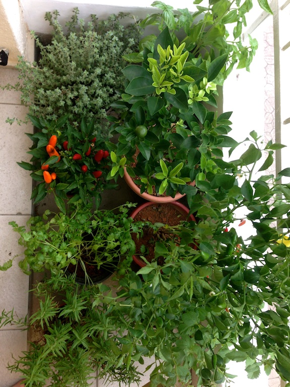 Can you spot the stevia plant in my balcony herb garden?