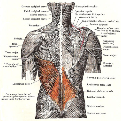 The Latissimus dorsi muscle: the quiet yet powerful type!