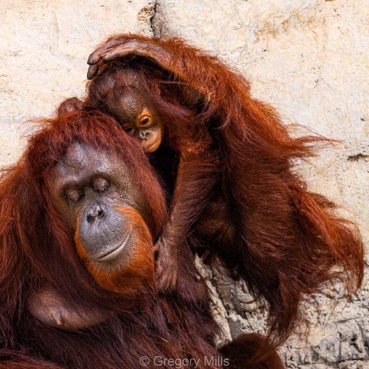 Orangutans at ZooTampa