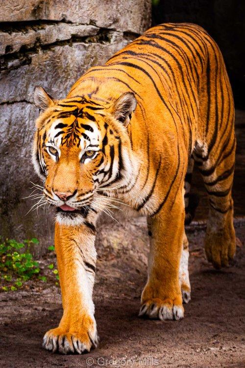 Tiger at ZooTampa
