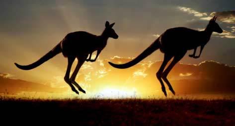 Australian outback kangaroo on the sunset