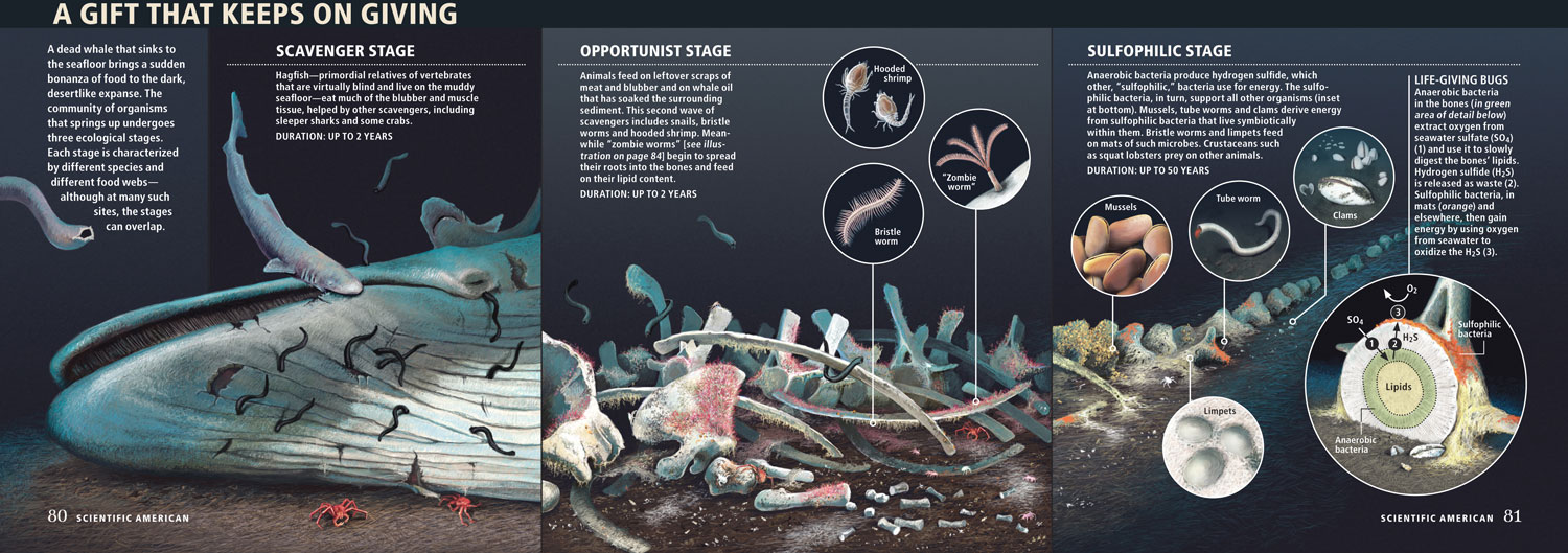 """Stages of a Whale-fall  """" The Prolific Afterlife of Whales ,"""" By Crispin T. S. Little,  Scientific American , February 2010;  Illustration layout and insets Catherine Wilson. Final background render  Jen Christiansen  ©  Scientific American"""