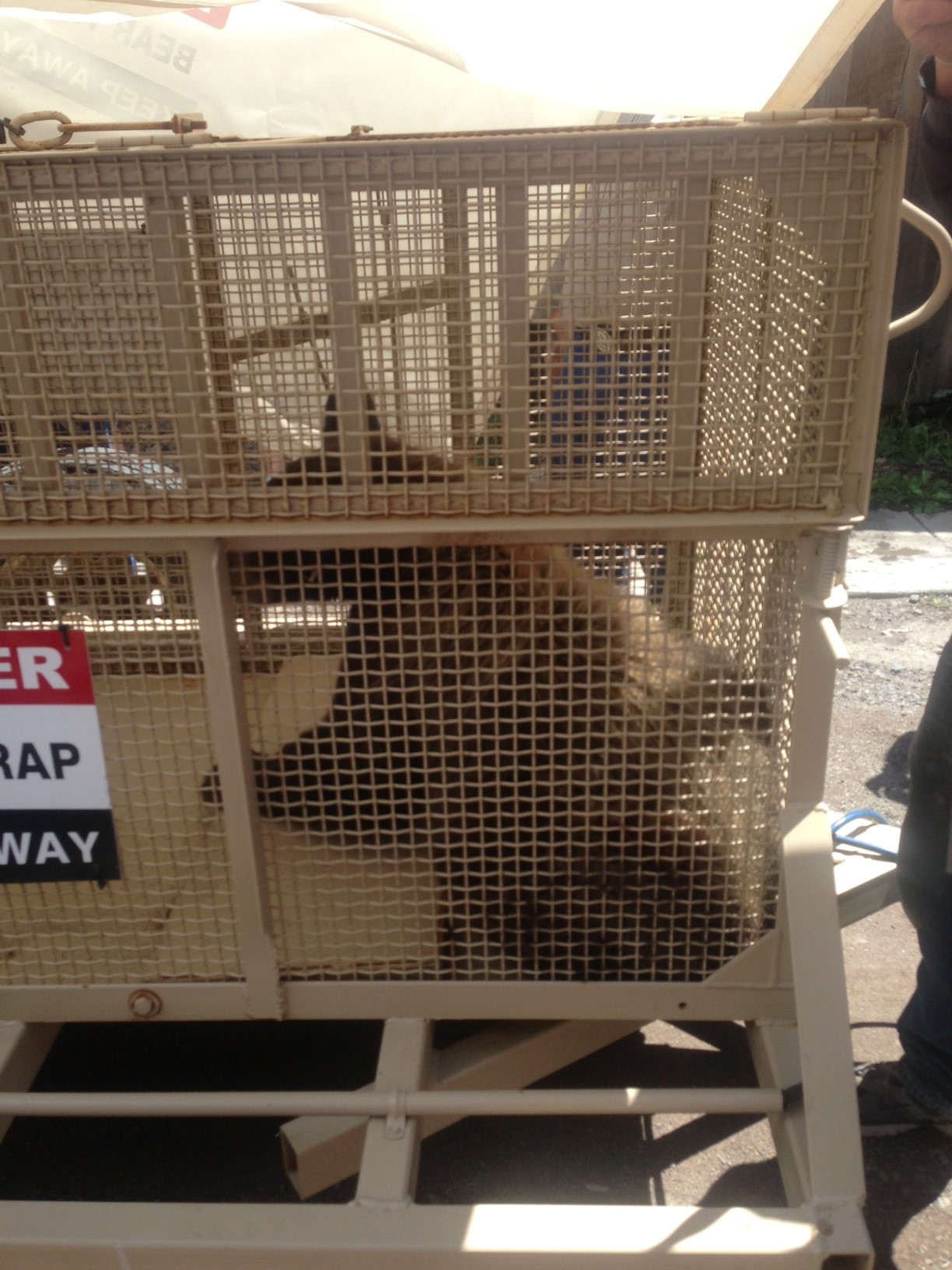 Moving problem bear from Creede Colorado to the forest.