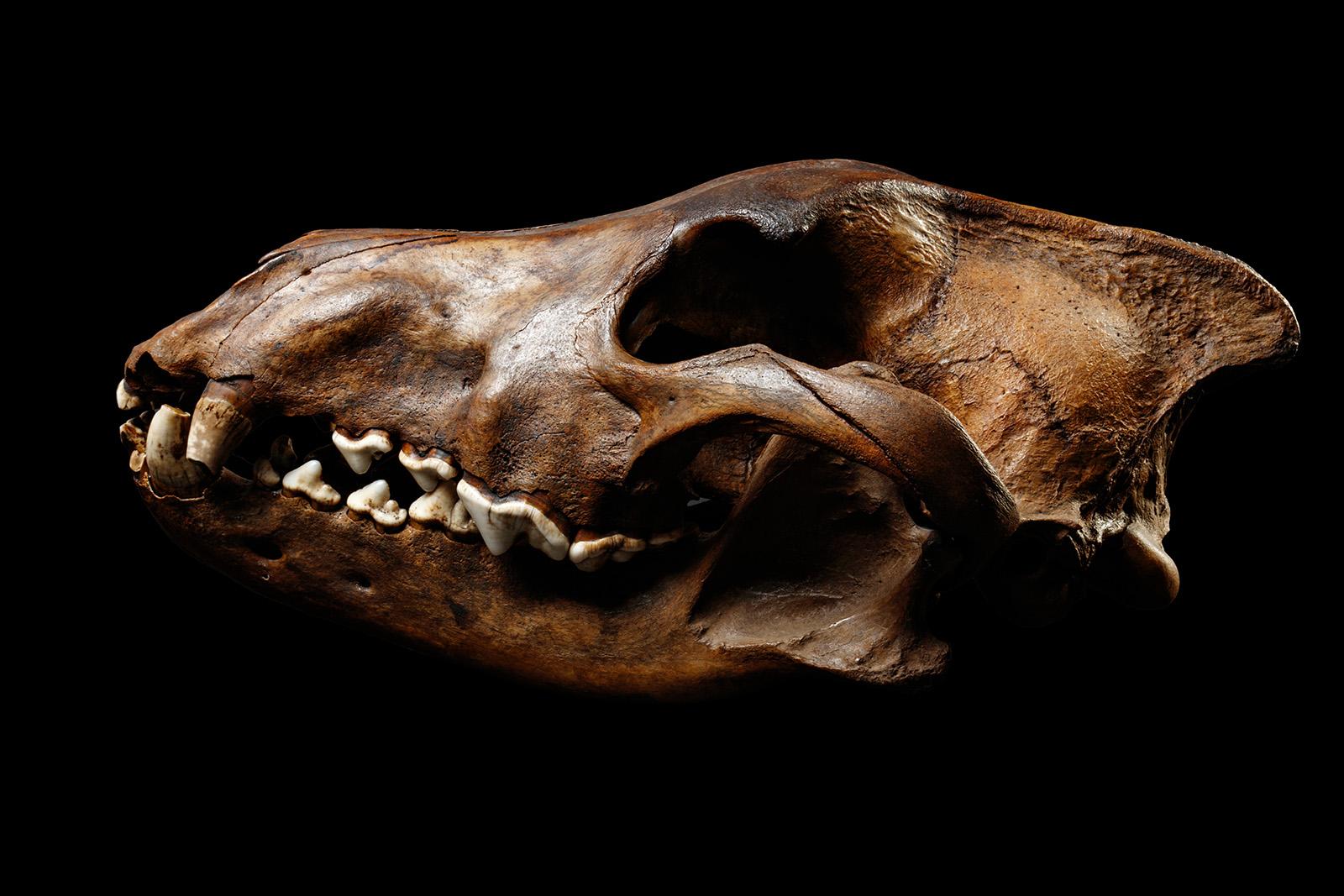 direwolf-skull-3.jpg