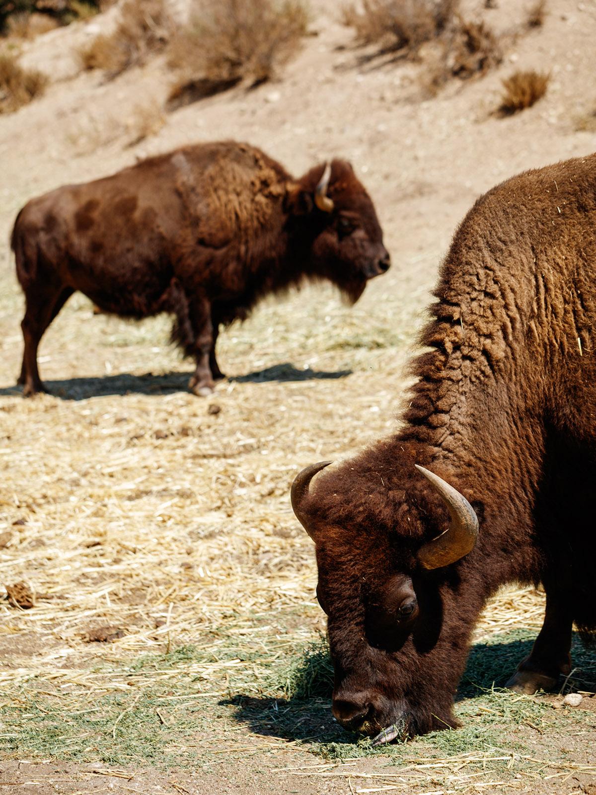 bisons.jpg