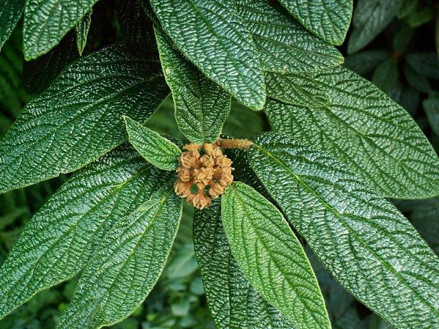 Viburnum rhytidophyllum.jpg