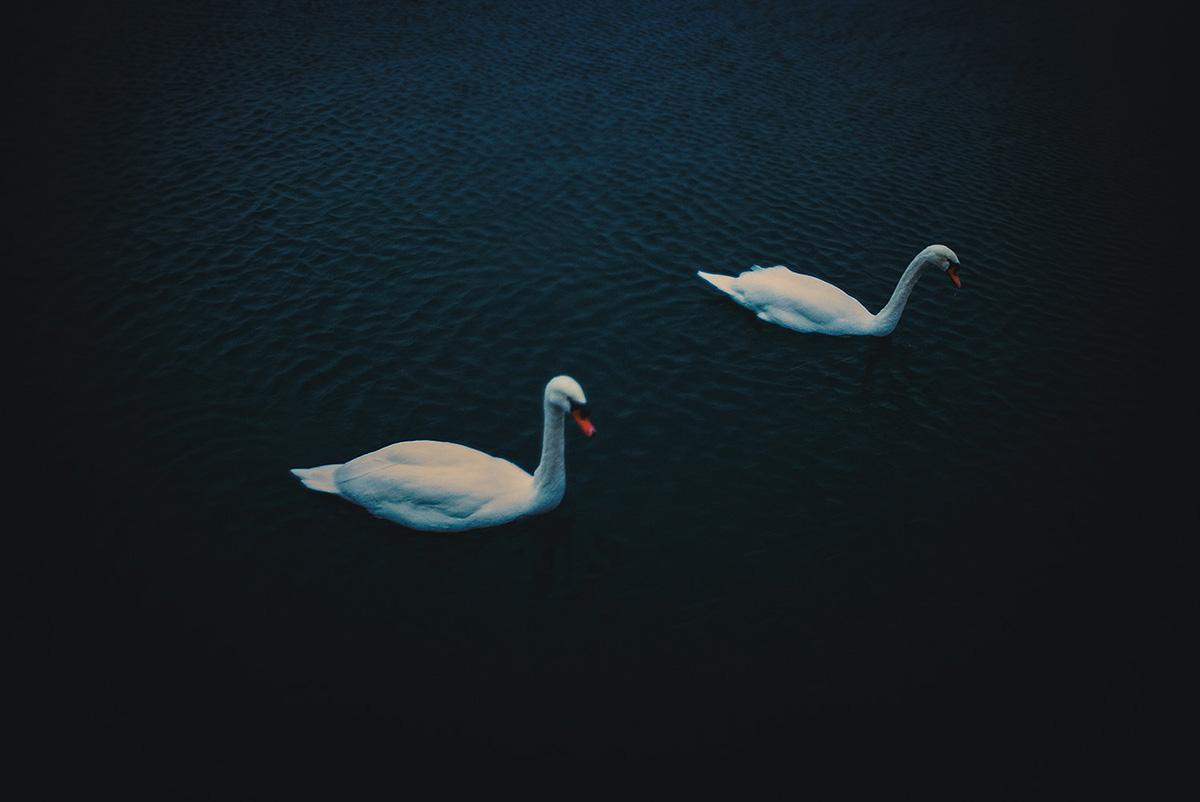 2 Swans, Lake Ontario