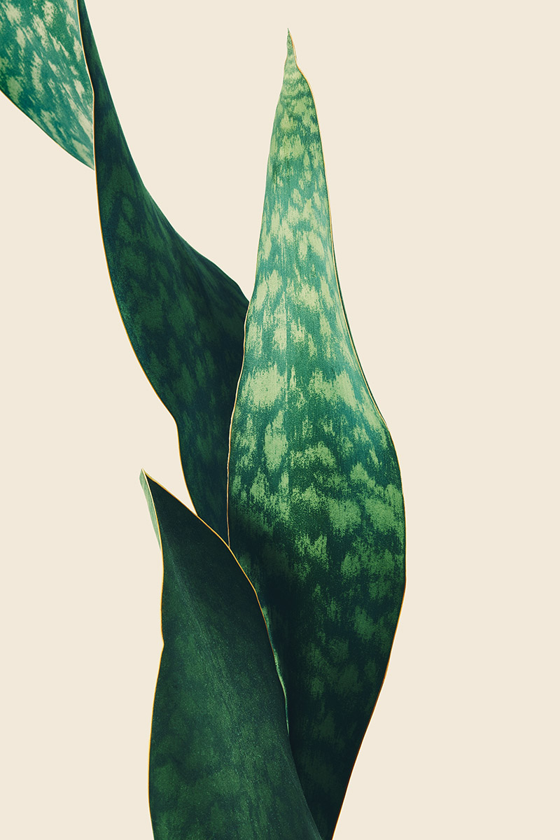 Sansevieria - Mother-in-Law's Tongue