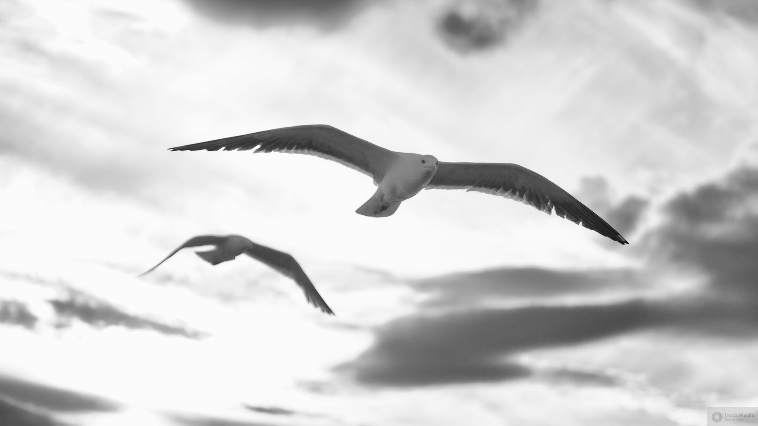 Seagull 6.jpg