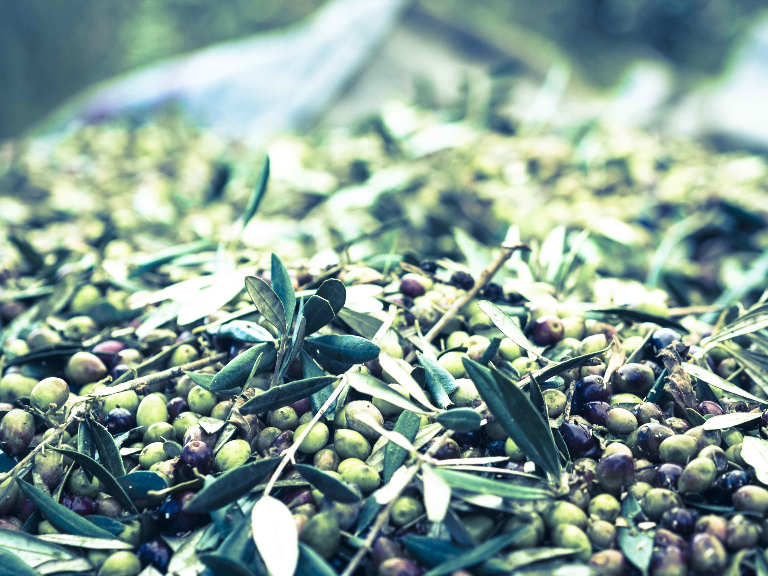 Olives from Kastro-3.jpg