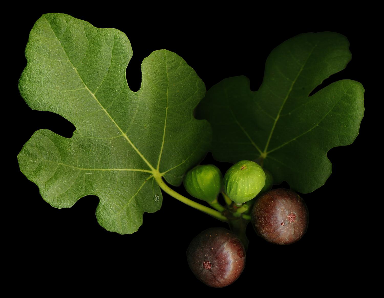 Gelini's Fig, 2009