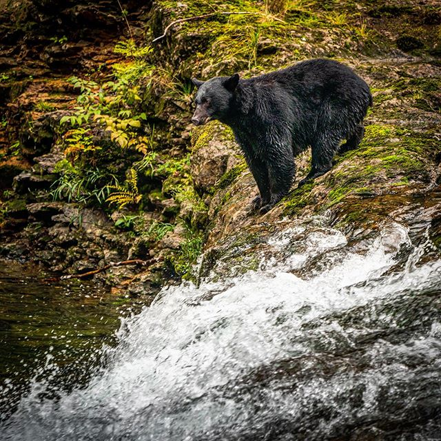 Mama bear on the hunt for salmon. #bcparks #sonya9 #sony100400gm #stampriver