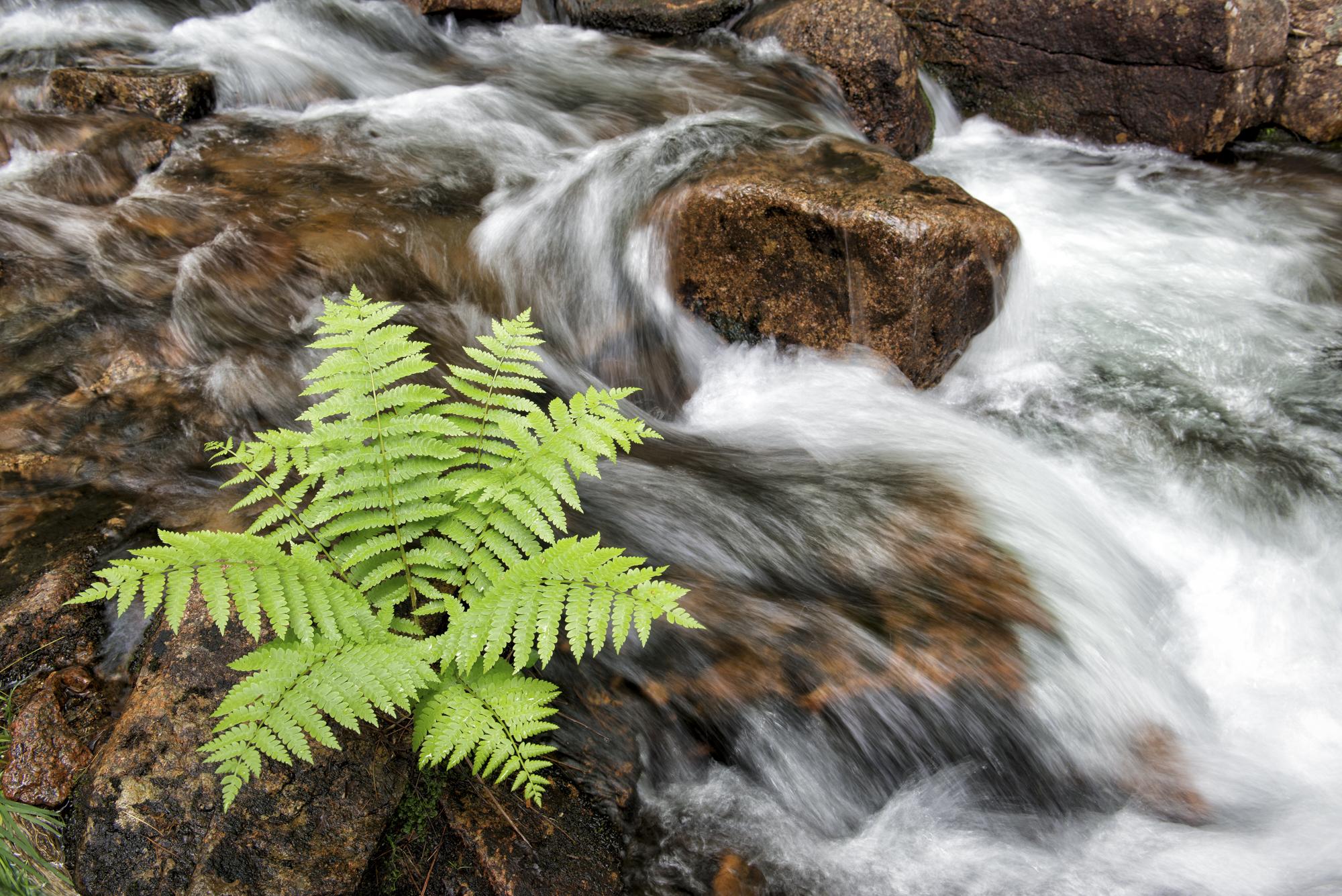 Spring Fern, Jordan Stream, Acadia National Park, Maine
