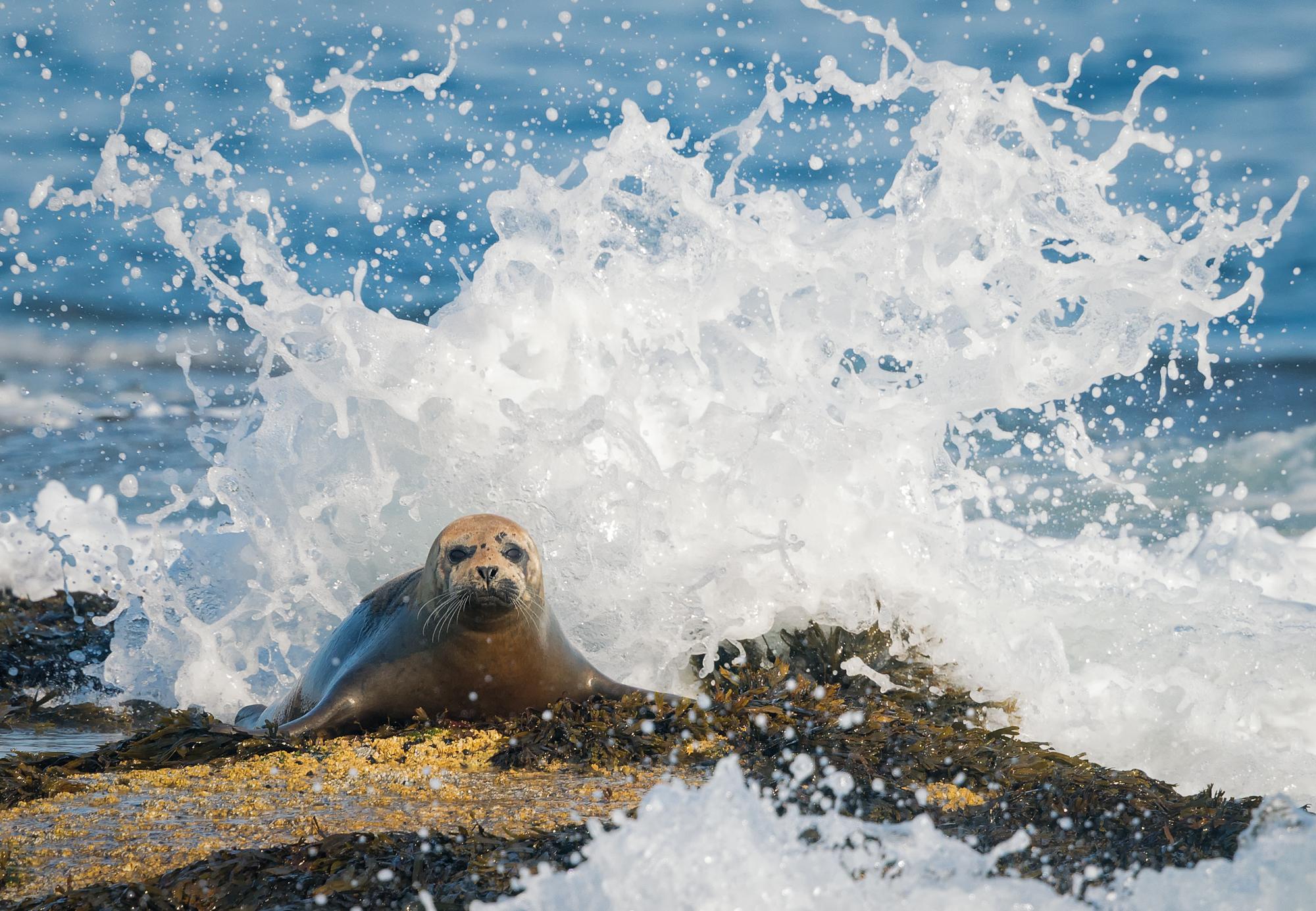 Harbor Seal, East Bunker Ledge, Seal Harbor, Maine