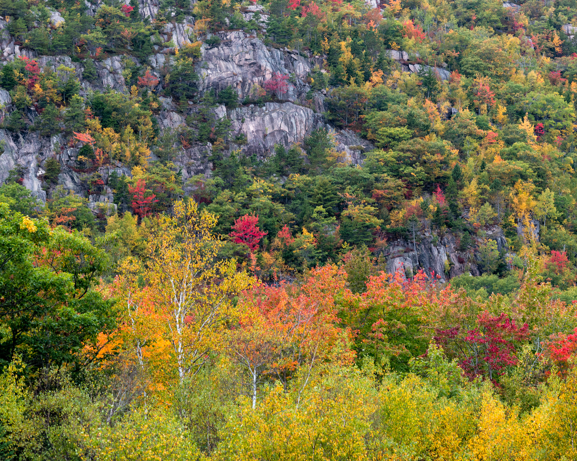 Dappled Autumn Foliage, The Precipice, Acadia National Park, Maine