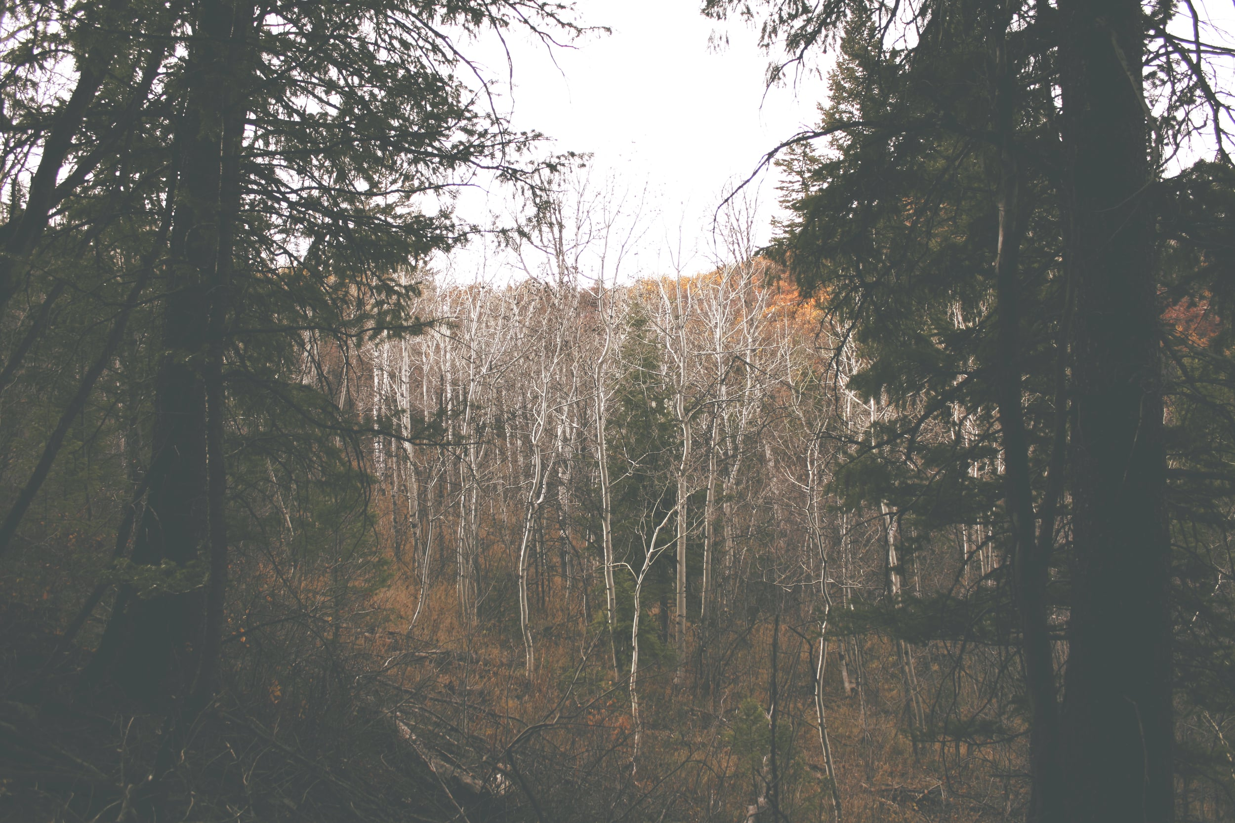 Aspens in the clearing