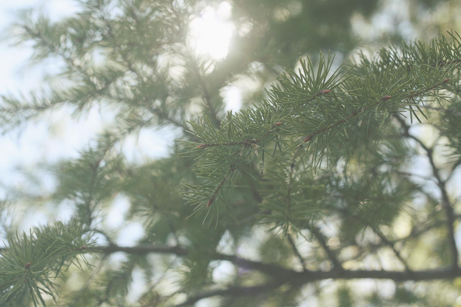 Sunlight Through The Pines | Tree Talker