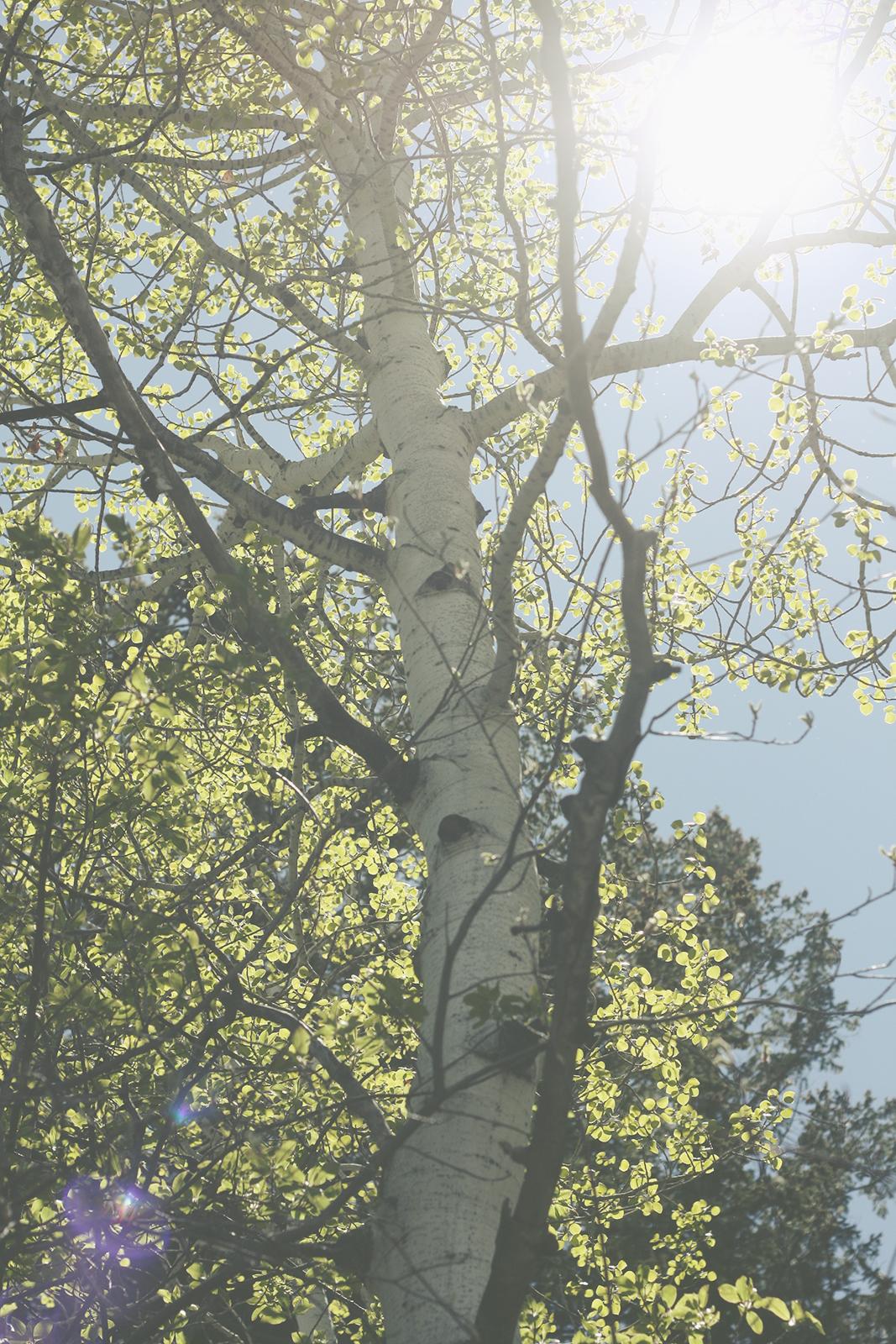 Sunny Aspen | Tree Talker Art