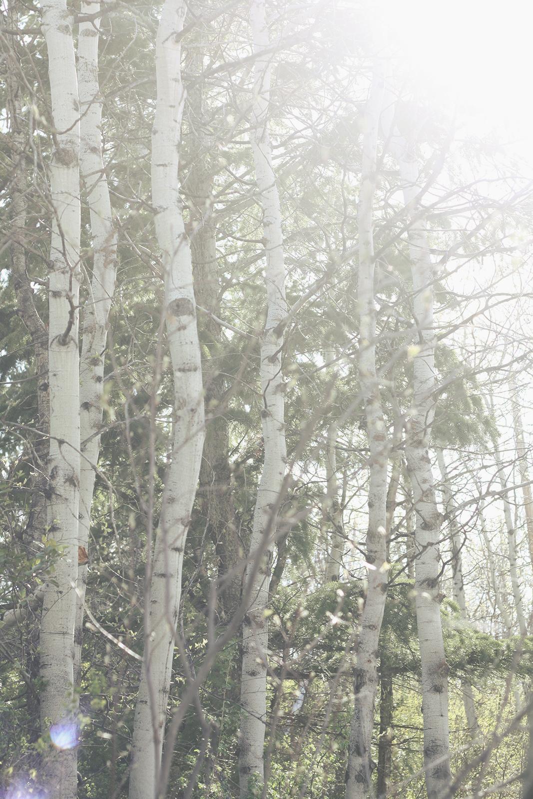Sunny Aspen Path | Tree Talker
