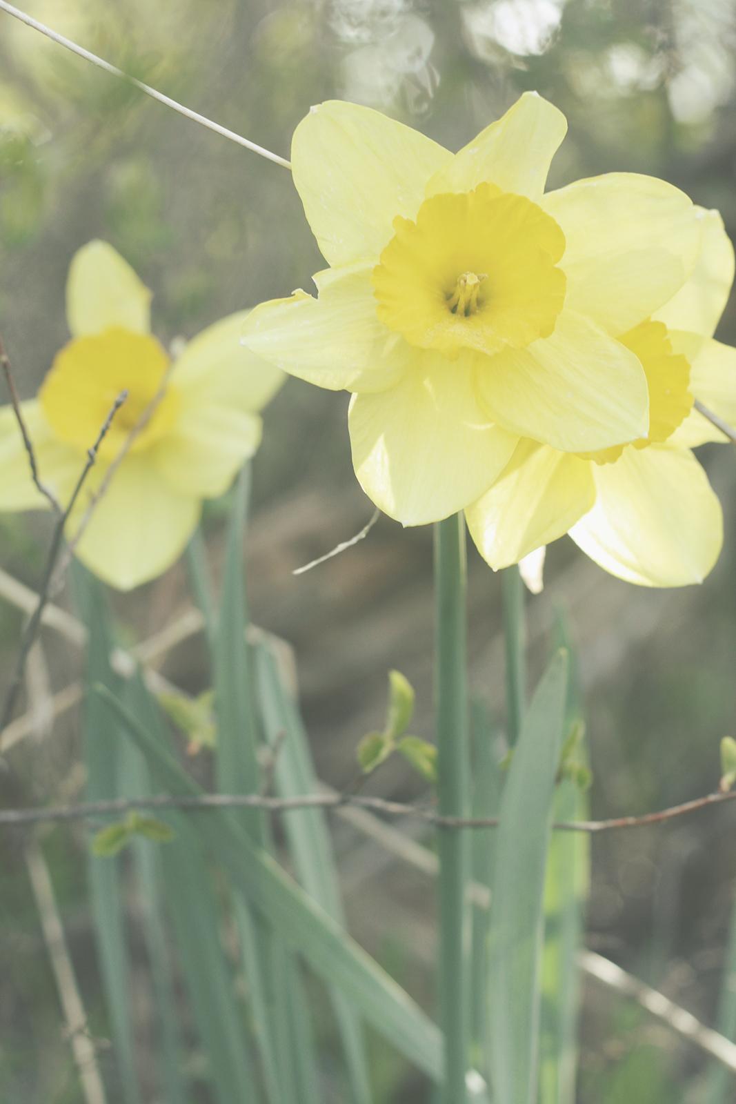 Daffodils | Tree Talker