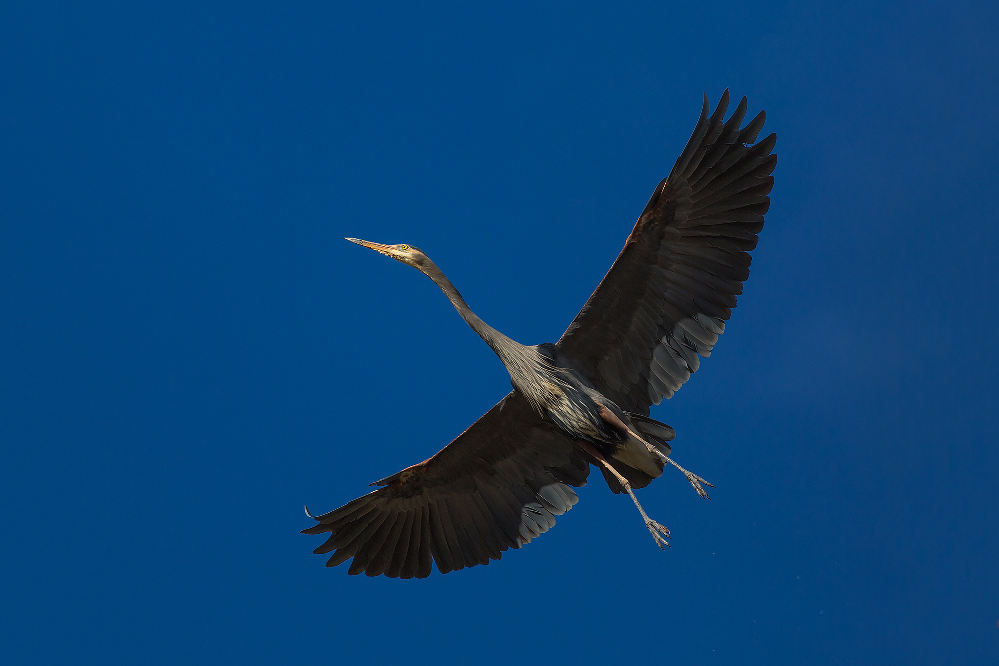 Great Blue Heron in flight at Marymoor Park in Redmond, WA.