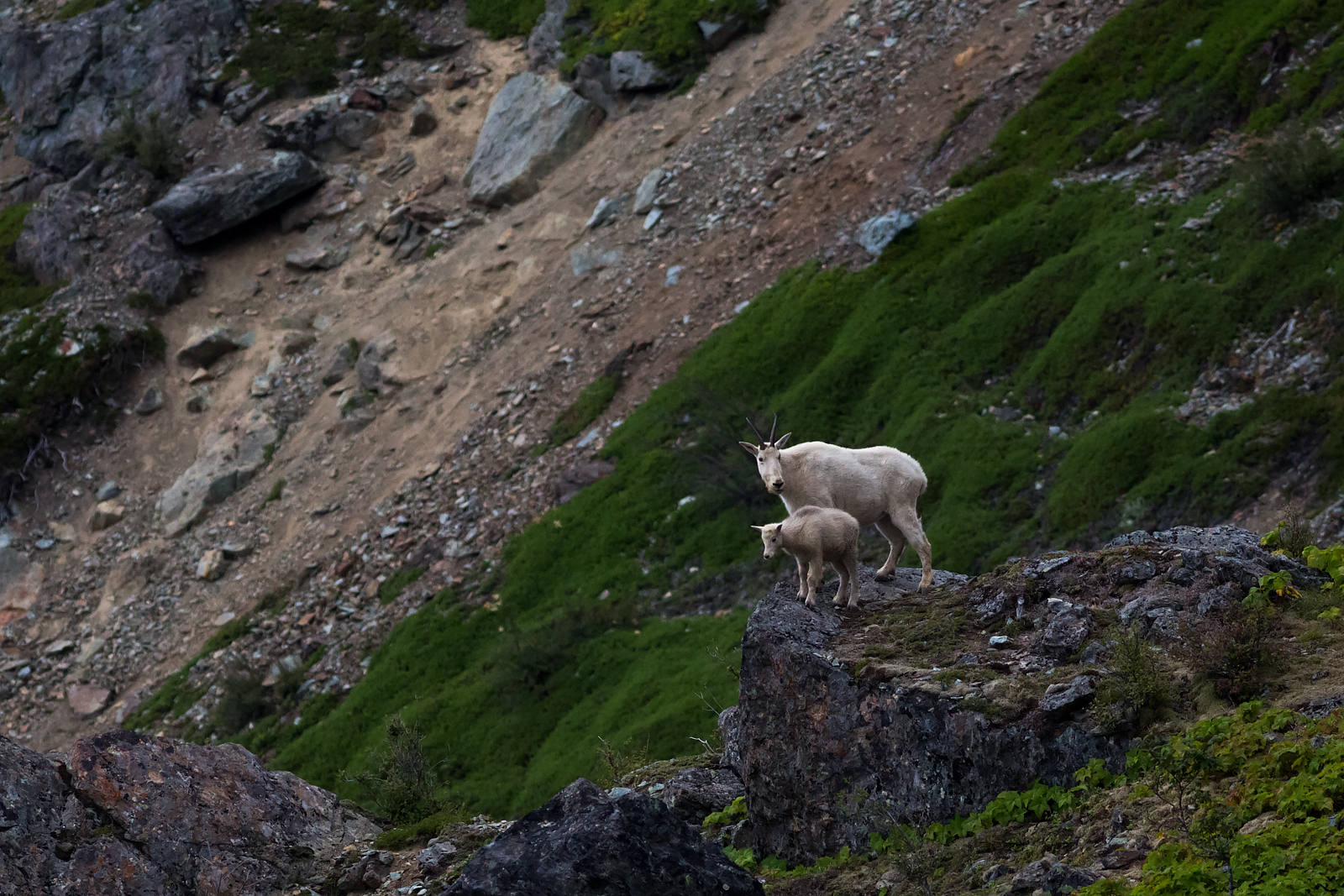 Mountain Goat with a kid on Mount Si.
