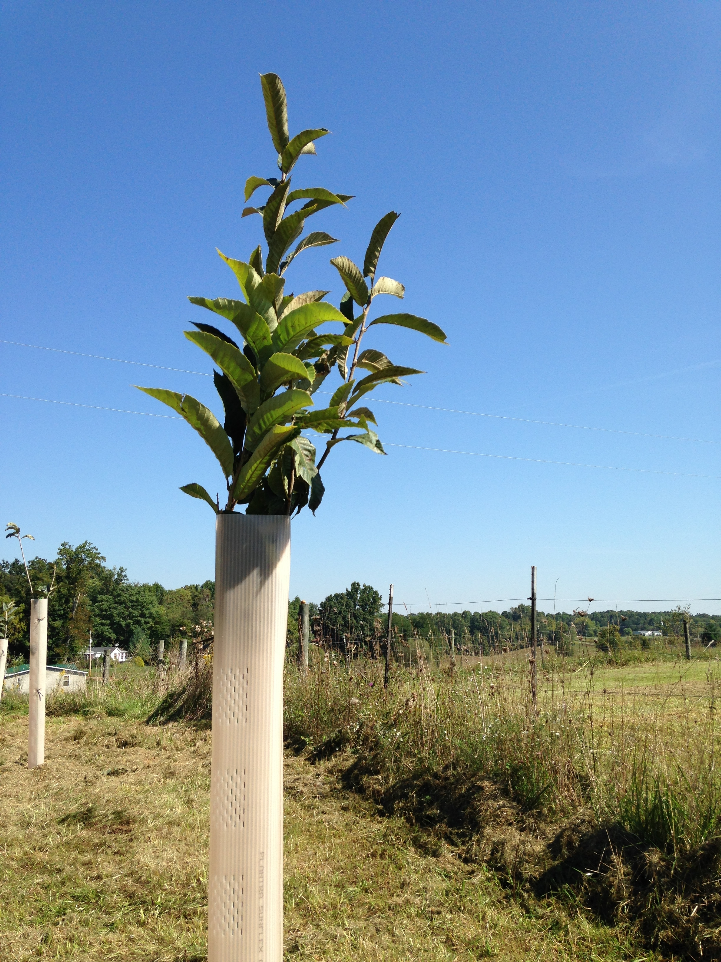 Chestnut Trees in Grow Tubes