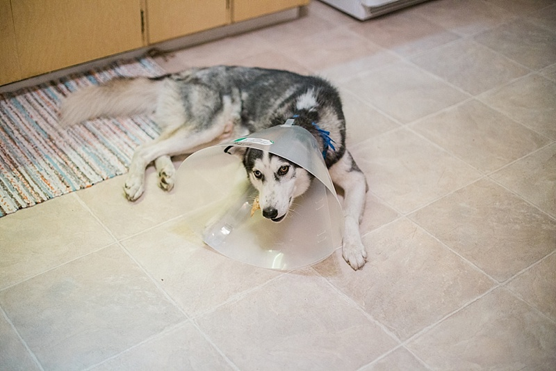 """Here he is eating a treat after the surgery. We soon found out he has a sensitive stomach and can't eat a lot of """"dog friendly"""" things."""