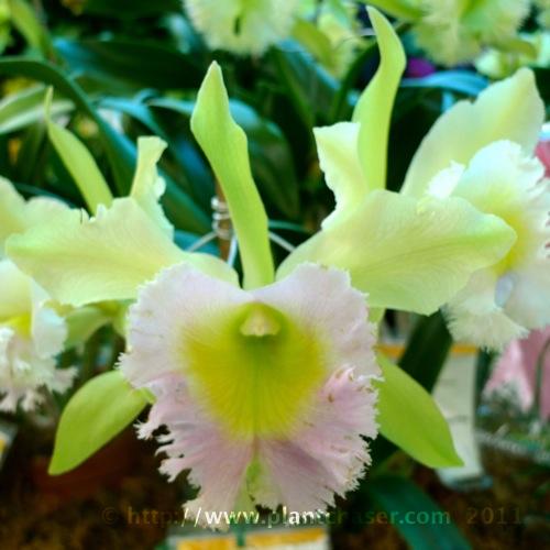 blc-brassolaeliocattleya-benigno-aquino-x-malvarosa-jade.jpg