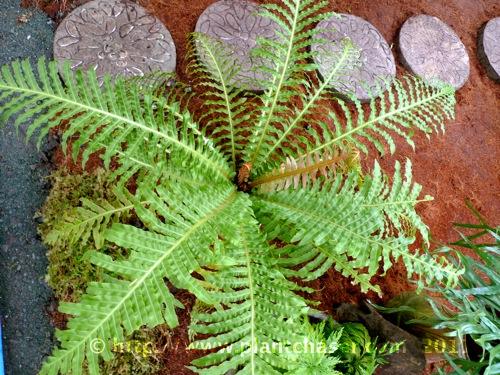 fern-species-noid-4.jpg