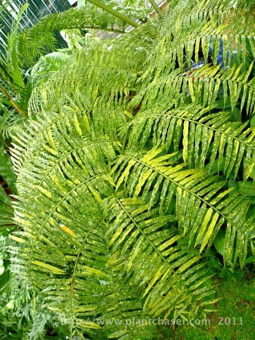 angiopteris-palmiformis-variegata-2.jpg