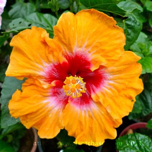 hibiscus-3.jpg