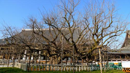 kyoto-nishi-hongwanji-tree.jpg