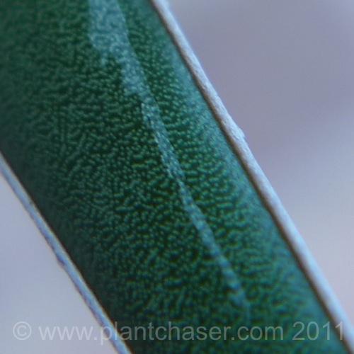 agave-parviflora-3.jpg