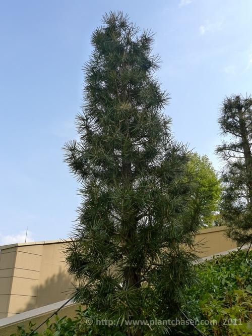 namba-parks-garden-sciadopitys-verticillata.jpg