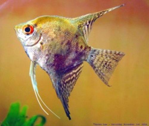 500px-Angel_fish001.jpg