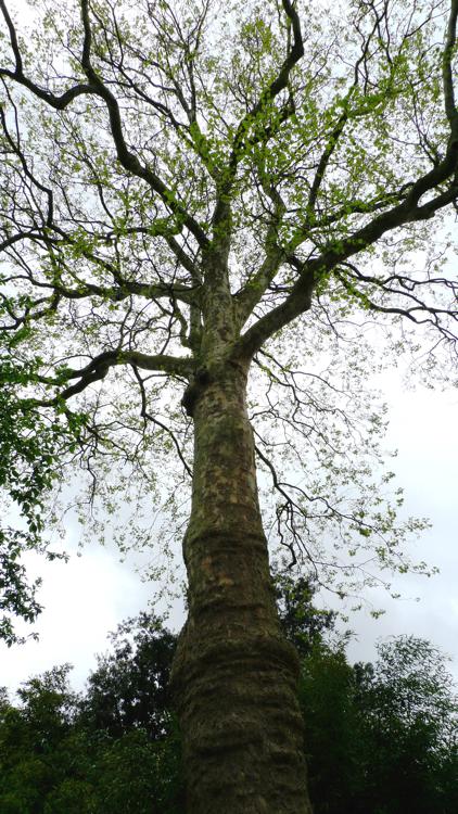Platanus x 'acerifolia'