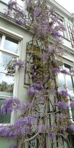 Wisteria sinensis growing along the walls.