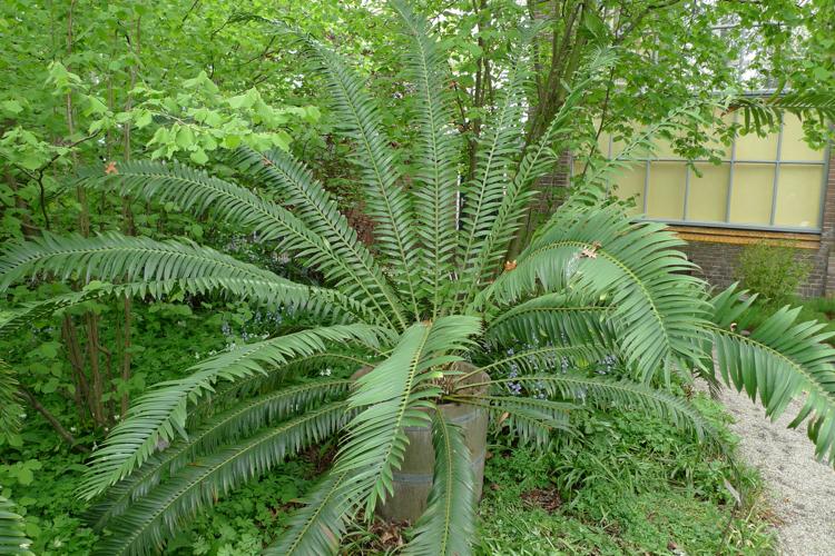 Encephalartos senticosus