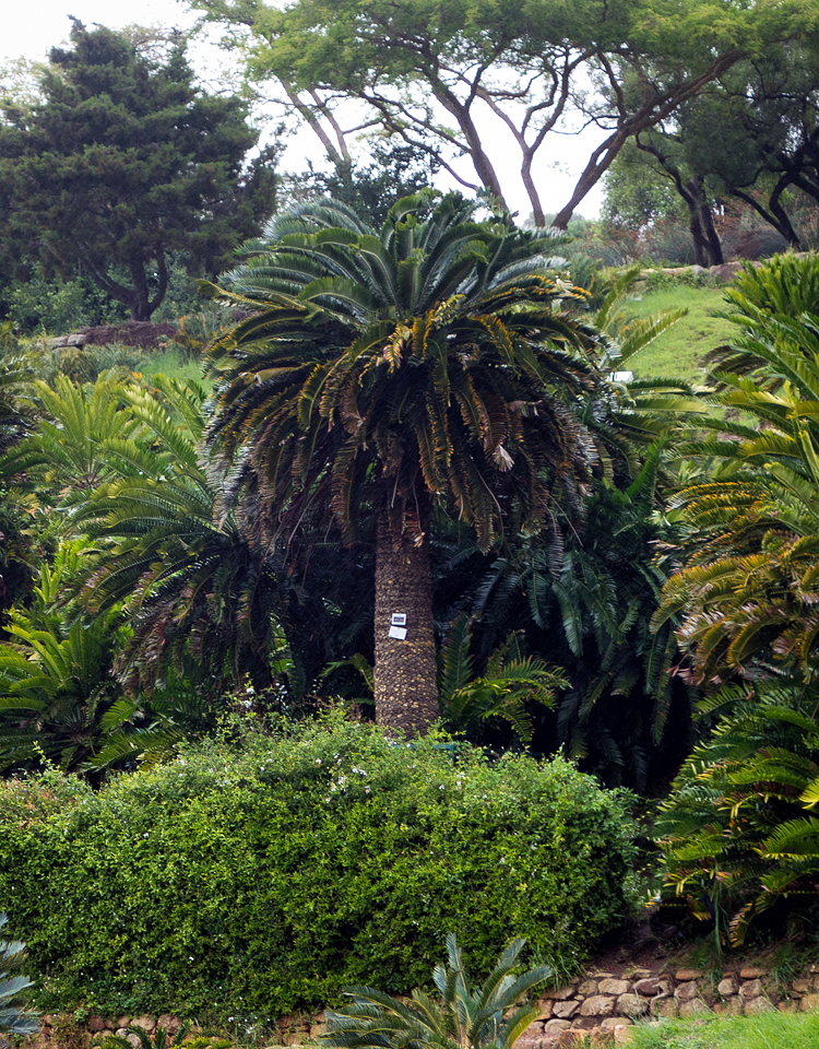 Encephalartos woodii, Kirstenbosch National Botanical Garden. Photograph by Rommel L. Reyes, MD. Used with permission.