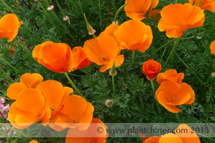 Eschscholzia californica  (Orange California Poppy)